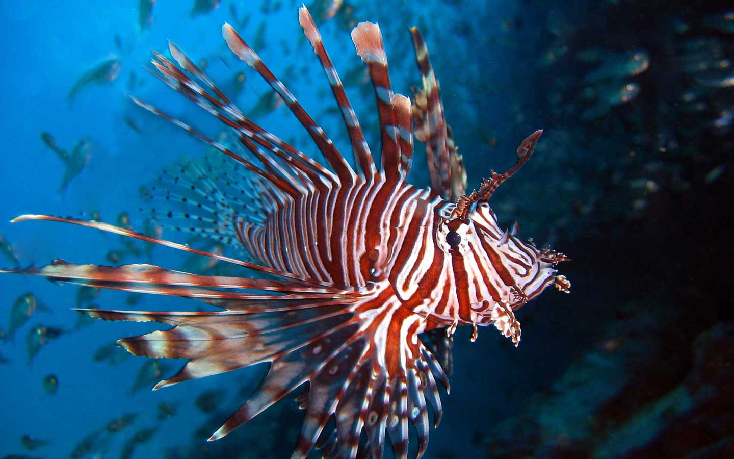 Lion fishes